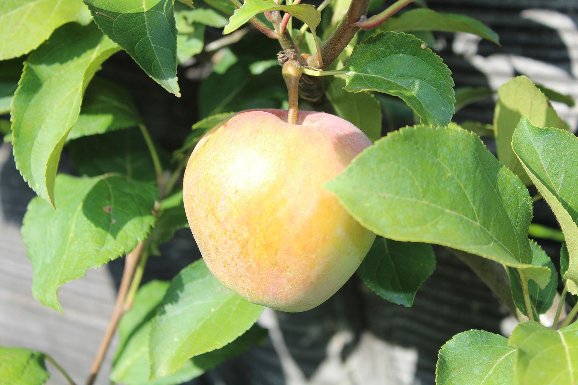 Pomme Jolibois